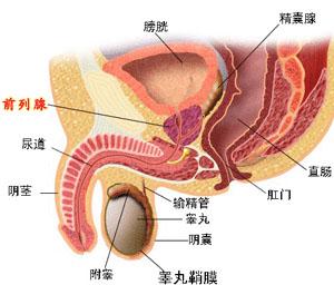 前列腺位置示意图-前列腺癌治疗纲要
